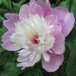 シャクヤク  向陽奇花