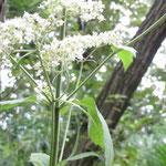 樹林の中に背の高い白い花が数本有った。名前の分かる人教えて下さい。