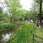 「藤ヶ丘公園」には菖蒲が満開