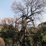 どこかの御屋敷の梅の古木 幹の一部は裂けている状態ですが花はしっかり咲いている