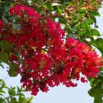 赤いサルスベリ