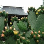 珍しいサボテンの花