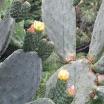 今年もサボテンの花は咲いています何故黄色・ピンクの花が同じサボテンから咲くの?