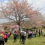 「さくらの谷」到着 染井吉野を観るには来るのが遅かった