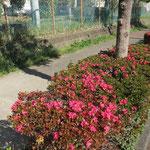荏田高校裏手には「ツツジ」も咲いている