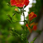 ノウゼンカズラがあちらこちらで咲いていた