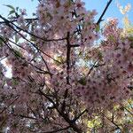 藤ヶ丘地区センターの有名な「ヒマラヤ桜」、観賞時期が少し遅かった