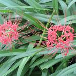 曼珠沙華も咲き始めてていました。一面真っ赤に染まる日がくるのかな~