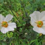 同じく藤ヶ丘公園 秋名菊の花