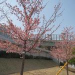 谷本公園には河津桜が7分~8分咲で気持ちも更に盛り上がる