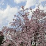 「八重紅枝垂桜」「紅枝垂桜」は満開で、楽しめた