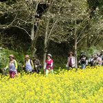 「春の草原」には菜の花が満開 横目で眺めてウォーキング