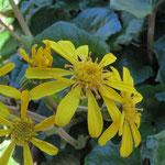 ツワブキの黄色い花は最盛期を過ぎたようではあるがしっかり咲いている