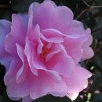 ウォーミングアップの後 鶴見川沿いに咲いていた山茶花