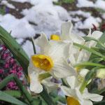 水仙も咲いており、地元の方の公園手入れに感謝!!