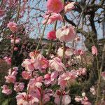 古木近くの御庭では、見事な紅梅の「枝垂れ梅」この樹も手入れが良く素晴らしい