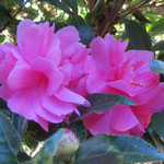 狭い道ではあるが椿の花が沢山咲いていて癒してくれる