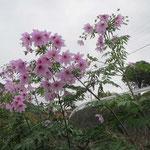 途中 皇帝ダリアが満開 この村には沢山の皇帝ダリアが咲いていた