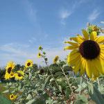 青空に映える「ひまわり」の花