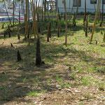 傍らの竹林の筍