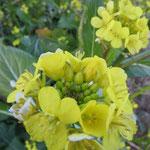 鶴見川沿いの畑には「菜の花」も咲いている