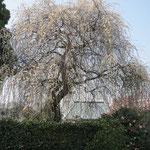 途中 見事な白梅の「枝垂れ梅」