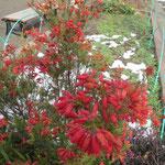 少し枯れかかったファイヤーヒースも残雪で赤さが増している