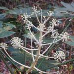 雑木林に「ヤツデ」の花も咲いていた