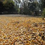 銀杏の落葉で黄色一色の市が尾遺跡公園、夏は蚊に悩まされる場所です