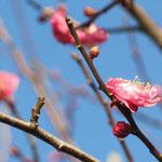 咲き綻び始めた「紅梅」満開は来月のようです