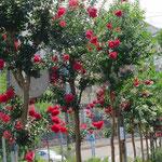 百日紅街道? には、白・赤・ピンクの3種類の花が満開