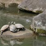 池にはあちこちの岩に亀が甲羅干し