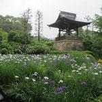 正覚寺の菖蒲・松の樹の勢いが衰えてきた感じ以前は青々とした立派な樹でした