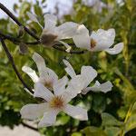 解散地 美しが丘西地区センターの前庭に辛夷が咲き始めていた