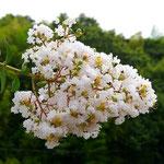都筑ふれあいの丘駅周辺にある白い花のサルスベリ