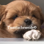 bruine Boomer pup uit kruising Shih Tzu