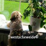 boomer pups kruising maltezer