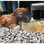 Bruin boomer puppy speelt met kauwbot