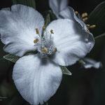tricom flower