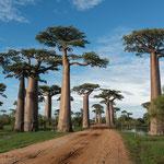 Baobabs, Madagaskar