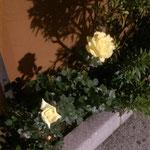Uwe liebt Rosen ...