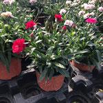 Dianthus mini M10,5