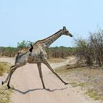 Overstekende giraf (foto: Ronny Wuyts)