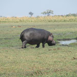 hippo aan land