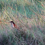 Koperstaartspoorkoekoek (Coppery tailed coucal) (foto: Gilbert Luyckx)