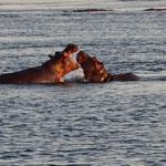 Nijlpaarden (foto: Gilbert Luyckx)