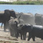 Olifanten aan de Chobe-rivier