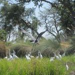 Opvliegende Afrikaanse maraboe tussen zilverreigers