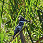 Bonte IJsvogel (Pied Kingfisher) (foto: Gilbert Luyckx)
