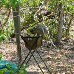Kamperen in het wild = je lavabo delen met een aap (foto: Walter Van Regemortel)